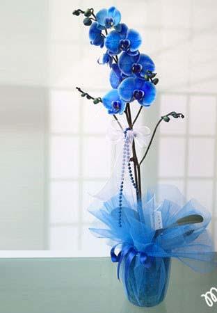 kütahya mavi orkide
